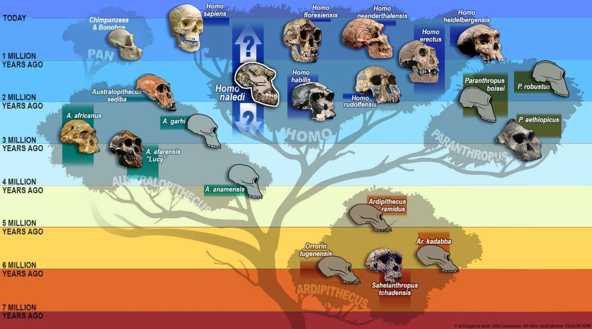Albero genealogico con l'evoluzione dei teschi